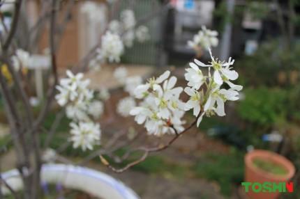 ジューンベリーの花